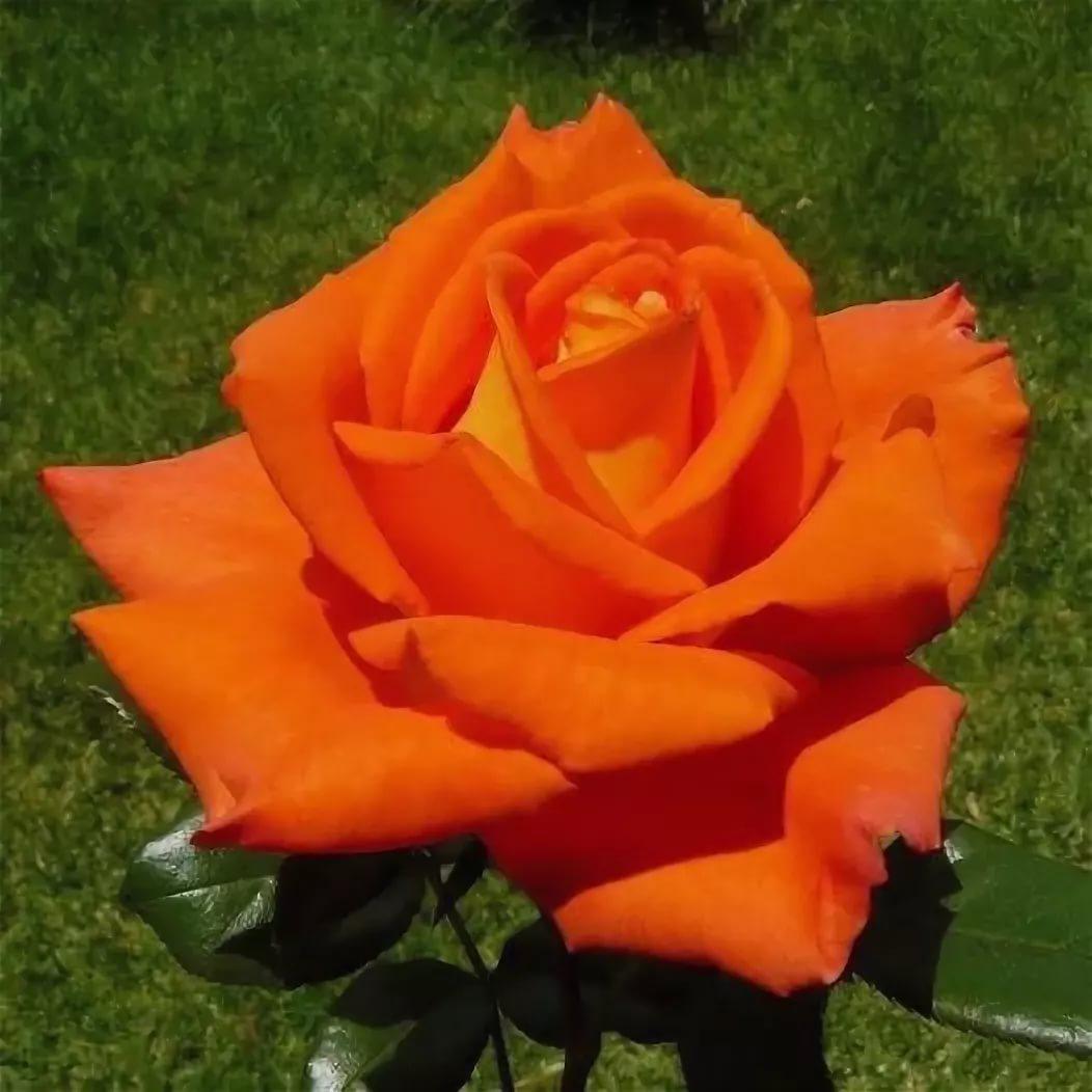 Роза моника фото отзывы