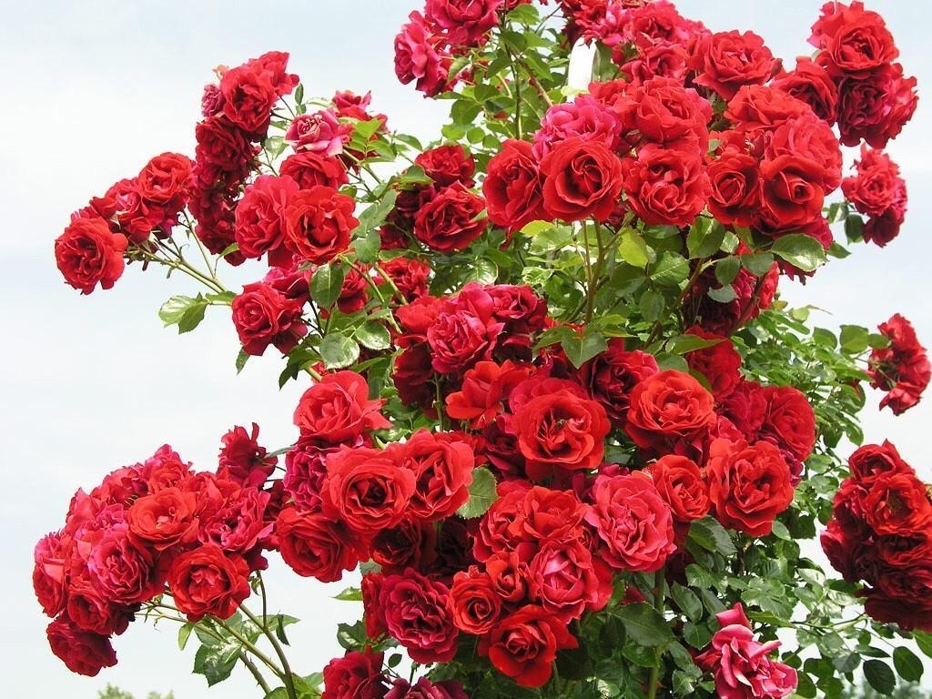 роза симпатия плетистая фото вот незадача лифт