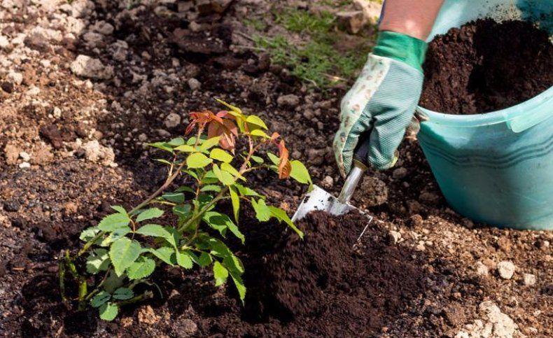 Как посадить розы с закрытой корневой системой?